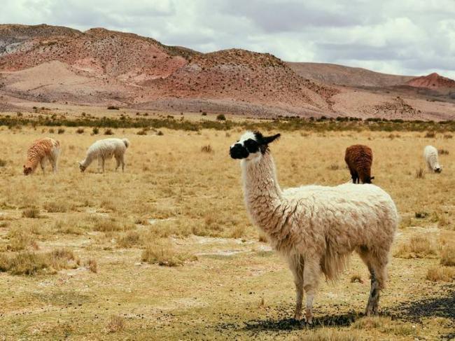 alpaca-1845919.jpg