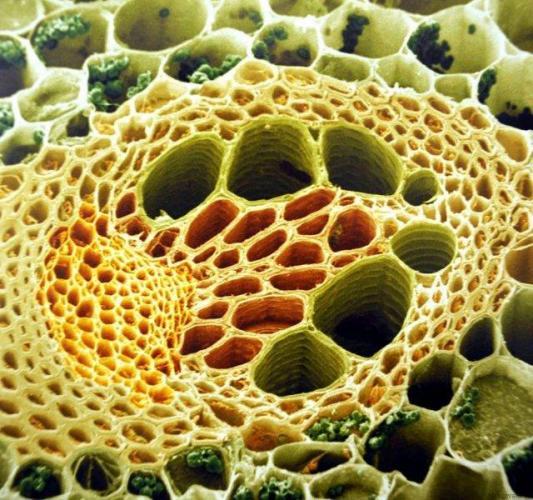 tkani-rasteniy-pod-mikroskopom-e1507065339783.jpg