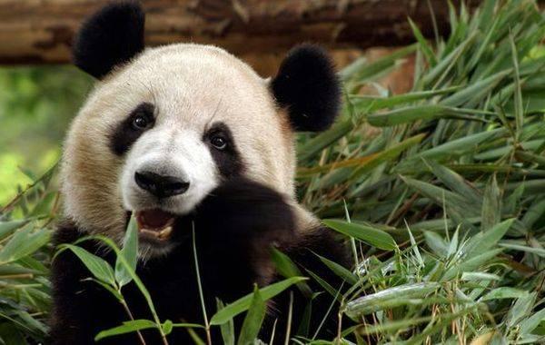 panda-est-bambuk.jpg